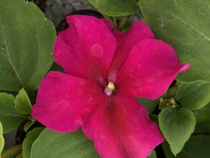 Ahkeraliisa, violetti, Ø8
