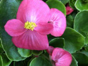 Annansilmä, vaaleanpunainen, Ø8