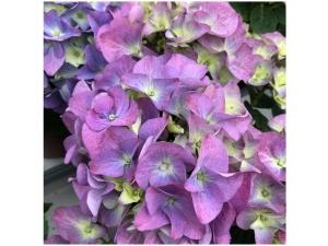 Hortensia, sininen, Ø15