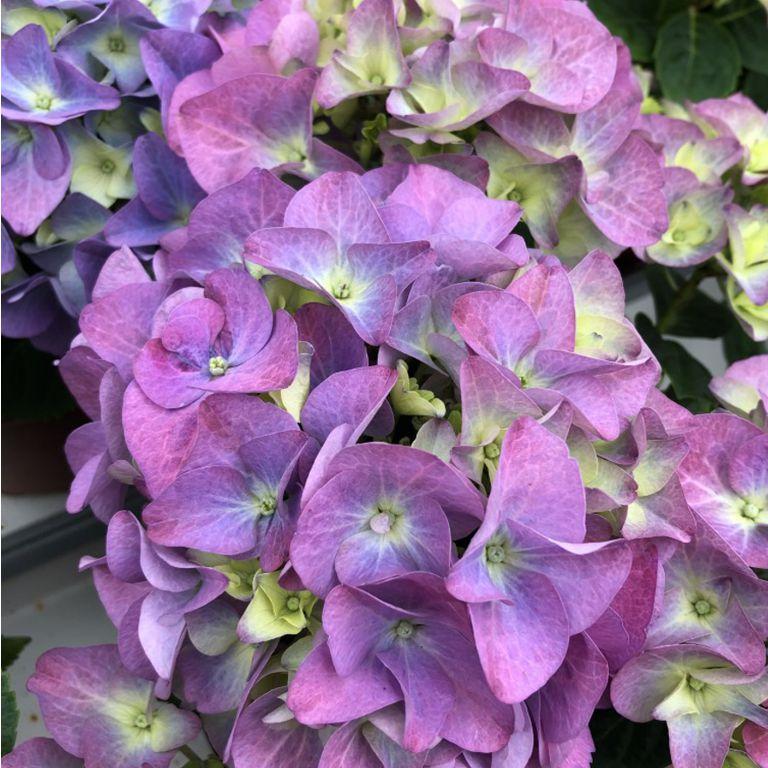 Hortensia sininen