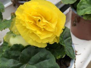 Mukulabegonia, keltainen, Ø12