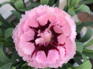 Neilikka, kirjava vaaleanpunainen, Ø12