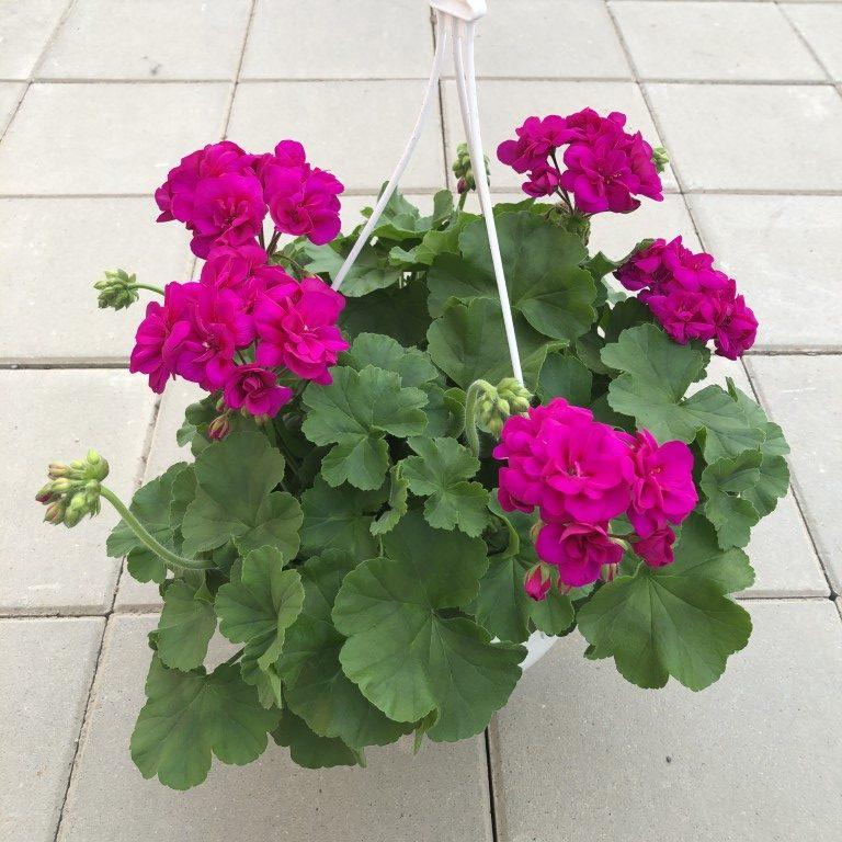 Pelargoni, amp, violet, Ø25