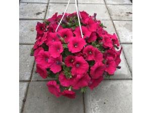 Petunia, vaaleanpunainen, Ø25