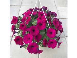 Petunia, violetti, Ø25