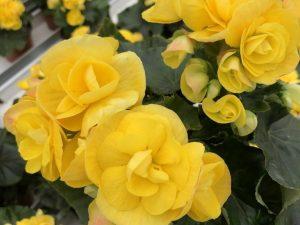 Ruusubegonia, keltainen, Ø12