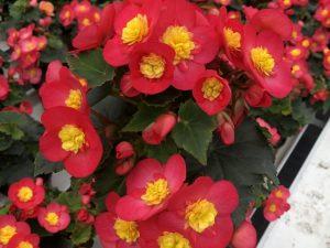 Ruusubegonia, keltapunainen, Ø12