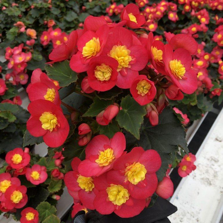 Ruusubegonia, keltapunainen