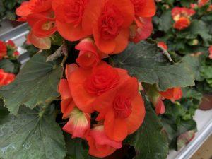 Ruusubegonia, oranssin punainen, Ø12