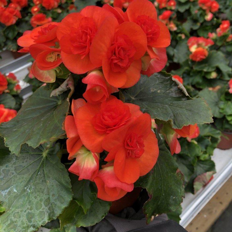 Ruusubegonia, oranssin punainen