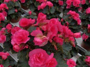 Ruusubegonia, vaaleanpunainen, Ø12