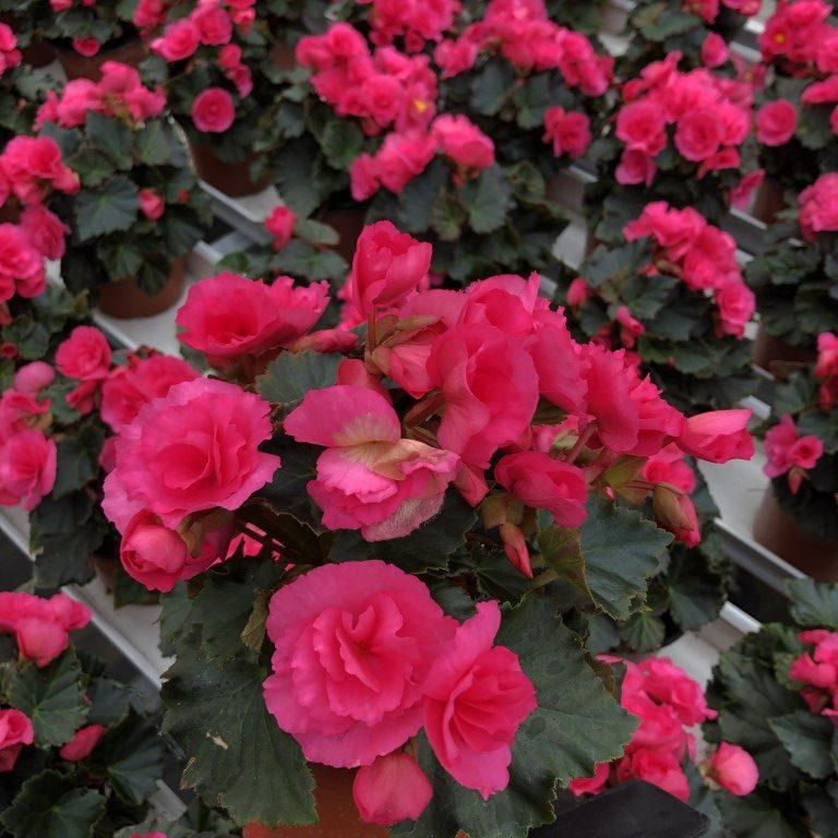 Ruusubegonia, vaaleanpunainen