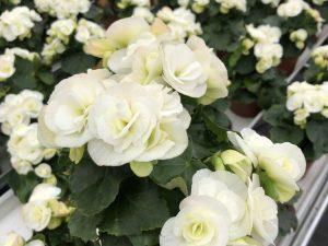 Ruusubegonia, valkoinen, Ø12