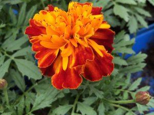 Samettikukka, oranssipunainen, Ø8