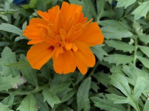 Samettikukka, oranssi, Ø8
