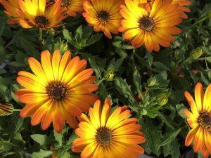 Kukkivat