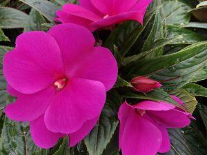 Uudenguinean liisa, violetti, Ø12