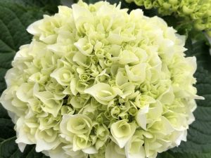 Hortensia, valkoinen, Ø15