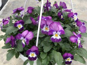 Orvokki, purple rose face, Ø23