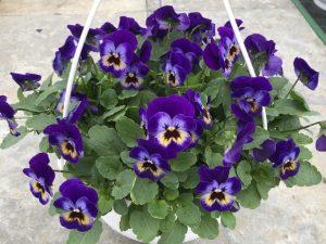 Orvokki, violet blue, Ø23