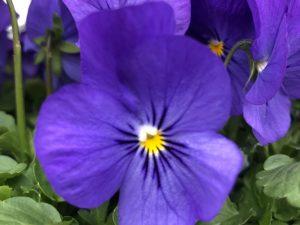 Orvokki, Blue for you (pieni)