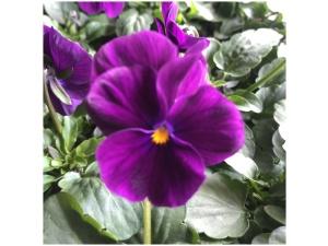 Orvokki, Bright purple (pieni)