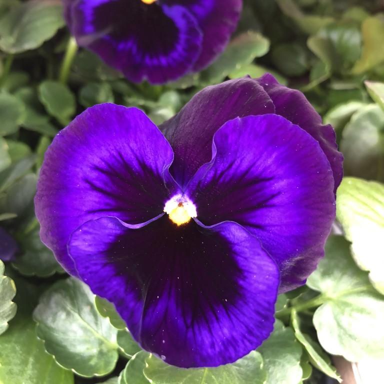 orvokki_ neon violet (XL)