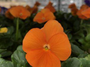 Orvokki, Orange (pieni)