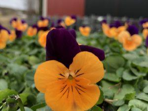 Orvokki, Orange with purple wing (pieni)