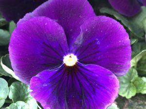 Orvokki, Pure violet (iso)