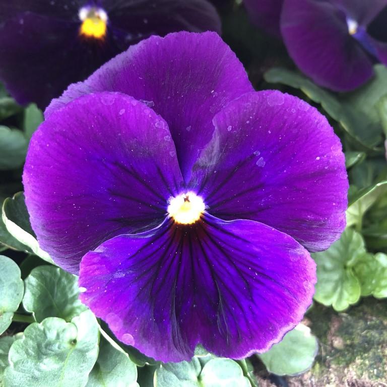 orvokki_ pure violet (XL)