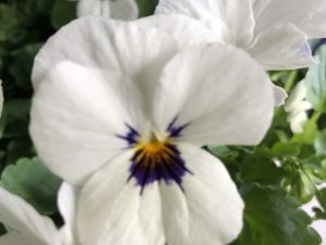 Orvokki, White with blotch (pieni)