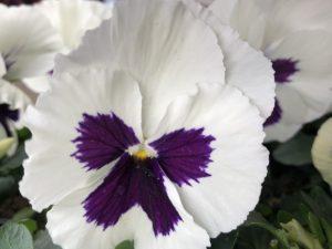 Orvokki, White with blotch (iso)