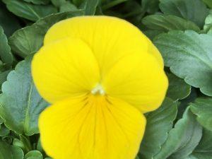 Orvokki, Yellow (pieni)