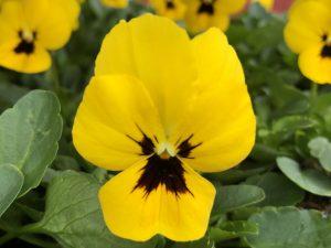 Orvokki, Yellow with blotch (pieni)