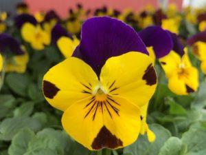 Orvokki, Yellow with purple wing (pieni)