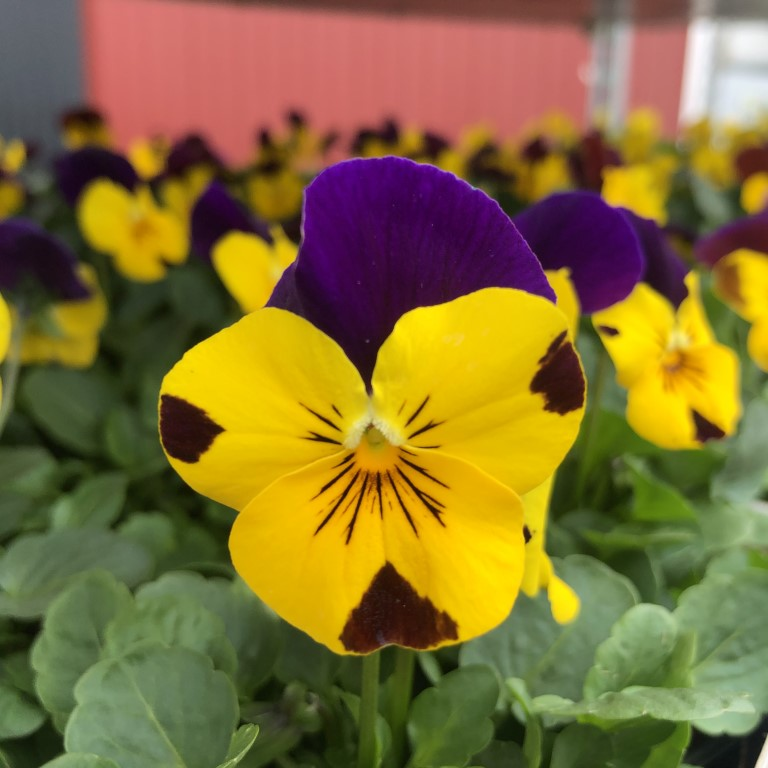 orvokki_ yellow with purple wing (S)