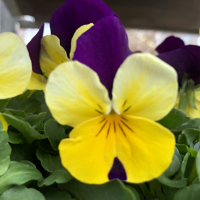 orvokki_ yellow with purple wing (S)(1)