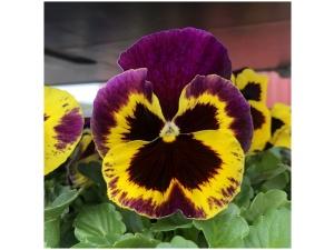 Orvokki, Yellow with purple wing (iso)