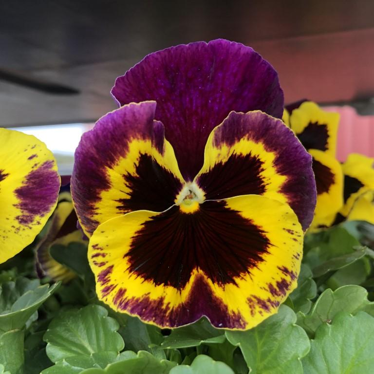 orvokki_ yellow with purple wing (XL)