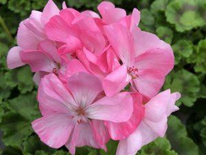 Pelargoni, vaaleanpunainen, Ø12