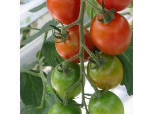 Tomaatti, kirsikka