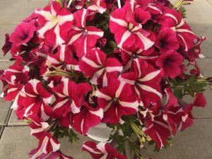 Petunia, pink amore queen, Ø25 (amppeli)