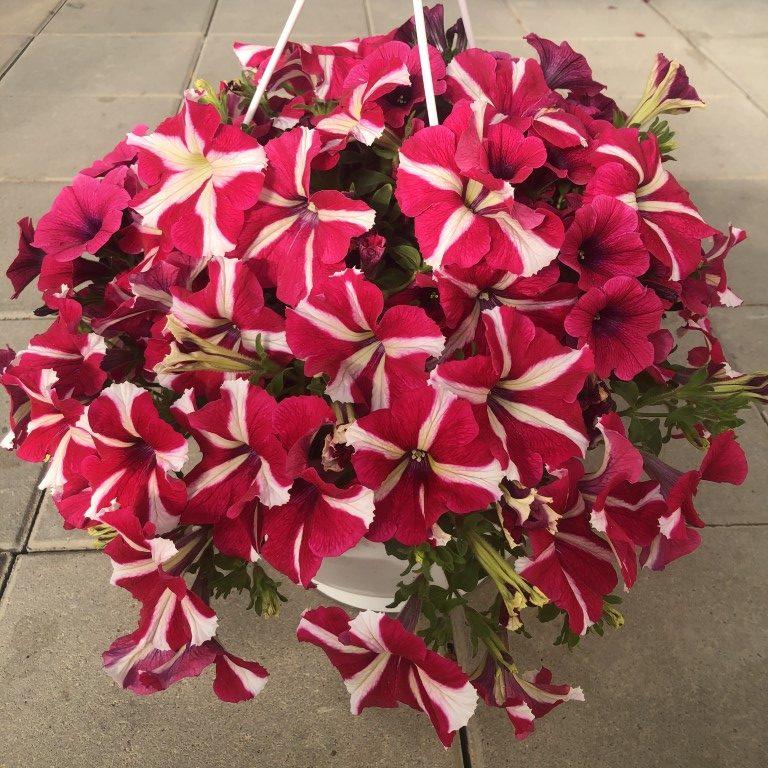 Petunia, amp, amore queen pink, Ø25