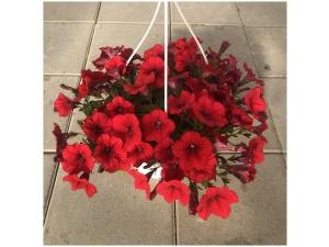 Petunia, punainen, Ø25 (amppeli)