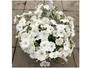 Petunia, valkoinen, Ø25 (amppeli)