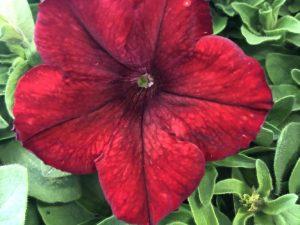 Petunia,punainen, Ø8