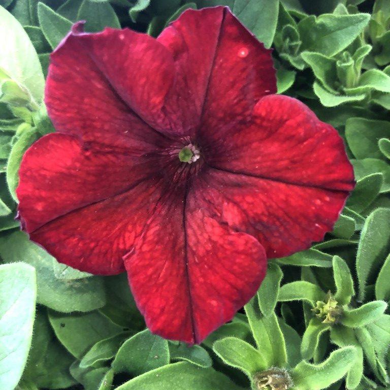 Petunia, punainen, Ø8