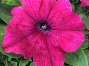 Petunia, vaaleanpunainen, Ø8