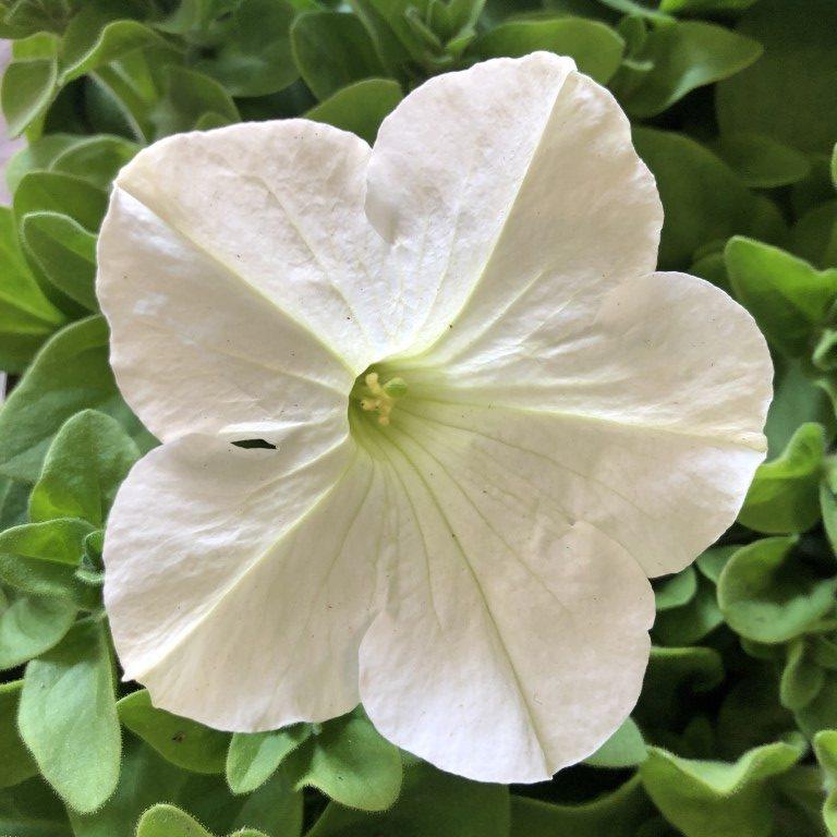 Petunia, valkoinen, Ø8
